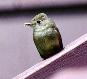Cordilleran Flycatcher Photographs and Sound Recording, Mt ...