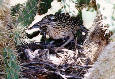 Greater Roadrunner Nest With Eggs And Young Photos Sound Recording